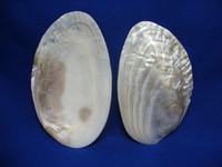 Pearlized Mussel Halves