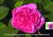 Damascus Rose 3cc