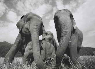 Elephant Gift Card | Faa Mai's Family | Black & White Photo