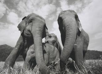 Elephant Gift Card | Faa Mai's Family | Black & White Photo