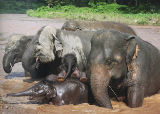 Elephant  Gift Card | Elephants in River | Color Photo
