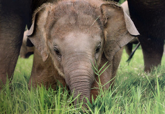 Elephant  Gift Card | Dok Mai | Color Photo