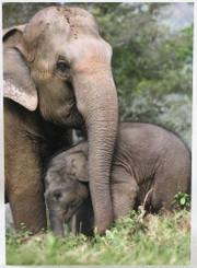 Elephant Gift Card | Faa Mai & Malai Tong | Color Photo