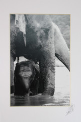 Black & White Elephant Photograph of Mae Bua Tong & Tong Jaan
