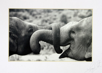 Black & White Photograph of Elephant with Entwined Trunks