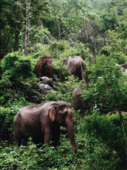 Color Photograph of Elephants in the Jungle