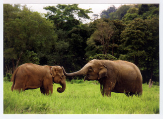Elephant Color Gift Card of Dok Ngern & Tong Daeng
