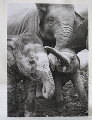 Elephant Black & White Gift Card - Baby Elephants