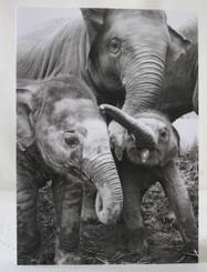 Elephant Black & White Gift Card - Baby Elephants