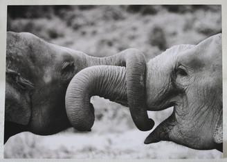 Elephant Black & White Gift Card of Hope & Malai Tong