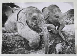 Black & White Gift Card of Baby Elephants