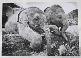Black & White Gift Card of Baby Elephants