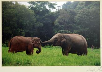 Color Elephant Photograph of Dok Ngern & Tong Daeng by Lek