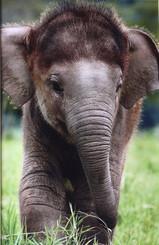 Color Elephant Photograph of Chang Yim taken by Lek
