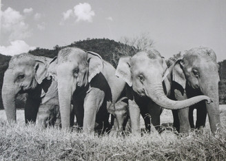 Elephant Gift Card | Herd in the Field | Black & White Photo