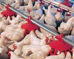 Cumberland's Breeder Feeder uses an adjustable grill to insure that roosters are restricted vertically and horizontally from accessing the hens' feed.