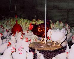 Opticon Breeder Chicken Scales