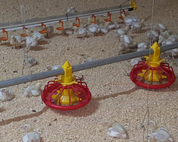 Equipment - Poultry - Feeding - AAS Online
