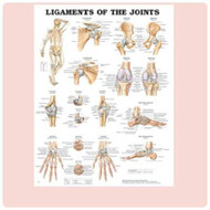 Anatomical Chart Ligaments and Joints 929418 Each/1
