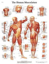 Anatomical Chart STICKYchart Human Musculature 12-4614L Each/1