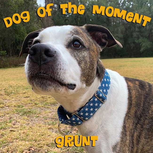 Dog of the Moment Grunt