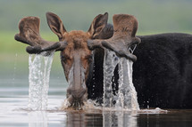Bull Moose by Moose Man