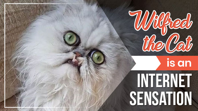 Wilfred the Cat is an Internet Sensation