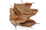 Southern Magnolia Leaf Litter
