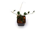 Porroglossum eduardii
