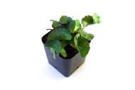 Elaphoglossum peltatum f. standleyi