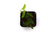 Ficus sp. 'Panama'