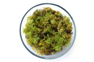 Feather Moss (Hylocomium splendens)