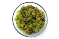 Feather Moss (Hylocomium splendens)