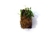 Bulbophyllum alagense