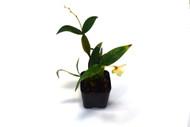 Dendrobium 'Tiny Bubbles'