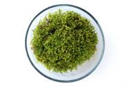 Sheet Moss (Pleurozium schreberi)