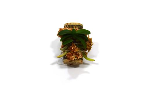 Schoenorchis fragrans