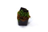 Elaphoglossum peltatum 'Pinwheel'
