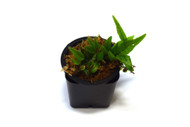 Pleopeltis percussa aff