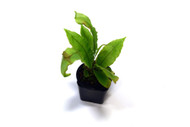 Elaphoglossum hammelianum aff
