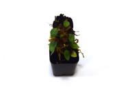Elaphoglossum squamipes aff