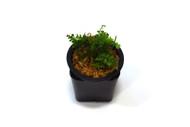 Asplenium daucifolium aff