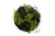 Hymenophyllum cuneatum aff