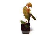 Philodendron microstictum