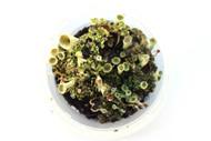 Pixie Cup Lichen (Cladonia asahinae)
