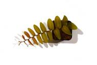 Marcgravia coriacea aff