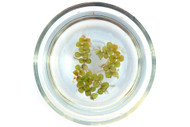 Water Spangles (Salvinia minima)