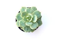Echeveria 'Fleur Blanc'