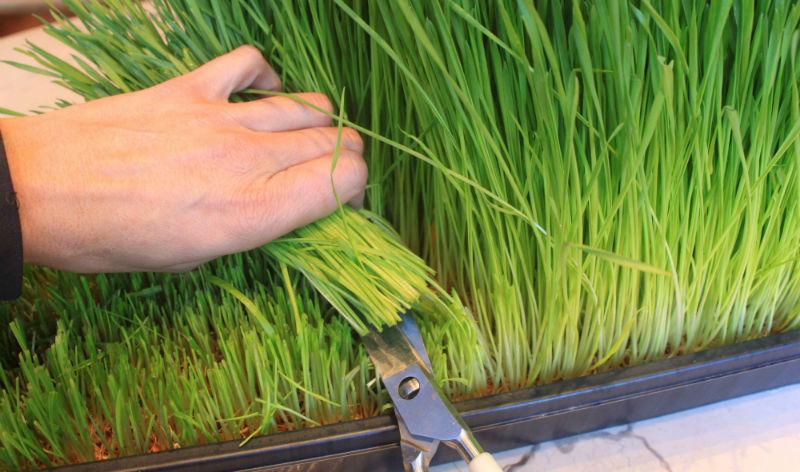 grow-wheatgrass.jpg
