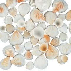 Natural Clamrose Sea Shells